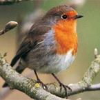 Abacus Birdsong United Kingdom
